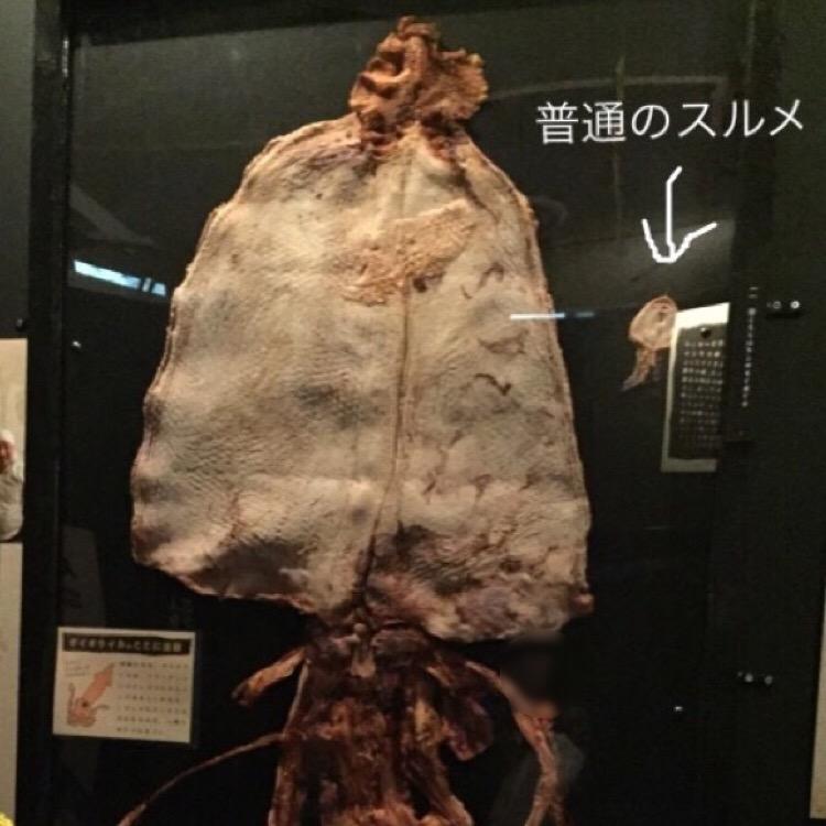 【須磨海浜水族館】 ダイオウイカのするめと、なんだか怪しいカッパのミイラ