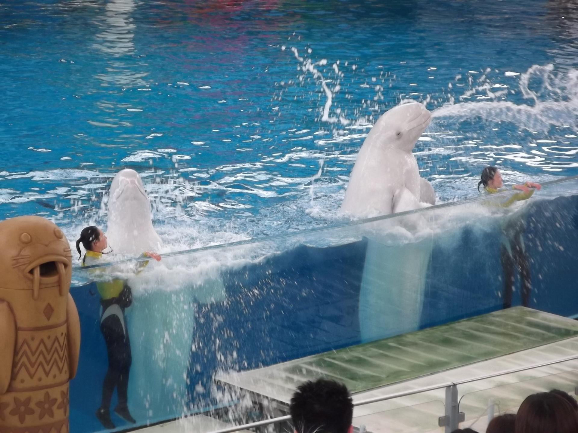 【八景島シーパラダイス】 水族館と遊園地の複合施設。関東で唯一ジンベエザメが見られる
