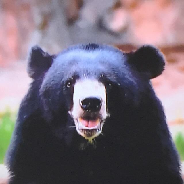 ゴールデンウィーク(秋も)「クマ」にご用心!  人間を恐がらないクマが、増えているらしい。