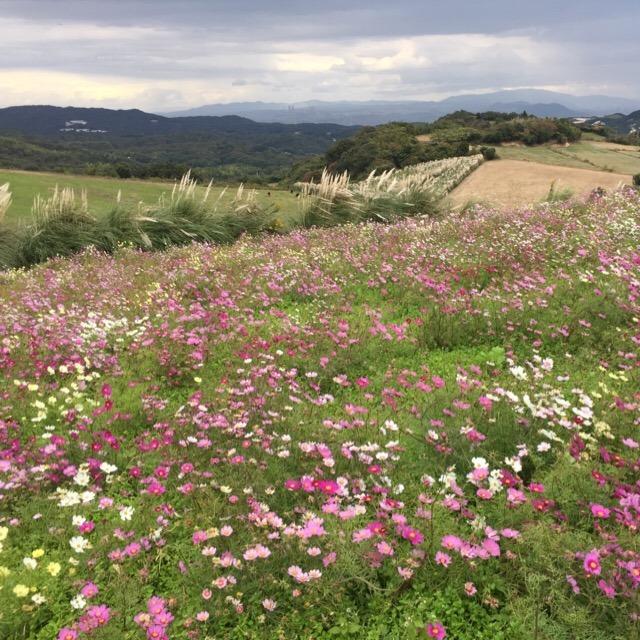 【あわじ花さじき】 駐車場・入場料が無料の、高原のお花畑