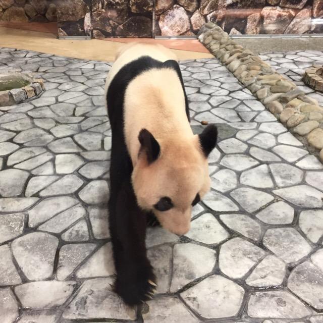 【アドベンチャーワールド】 世界最多のパンダ繁殖実績があるところで、パンダ飼育数日本一!