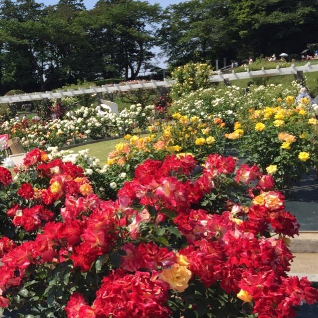 【生田緑地ばら苑】  2019年5月26日まで開園、無料で入れます