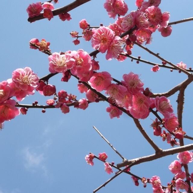 【熱海梅園】 中山晋平記念館と、澤田政廣記念美術館も併せて楽しんで下さい