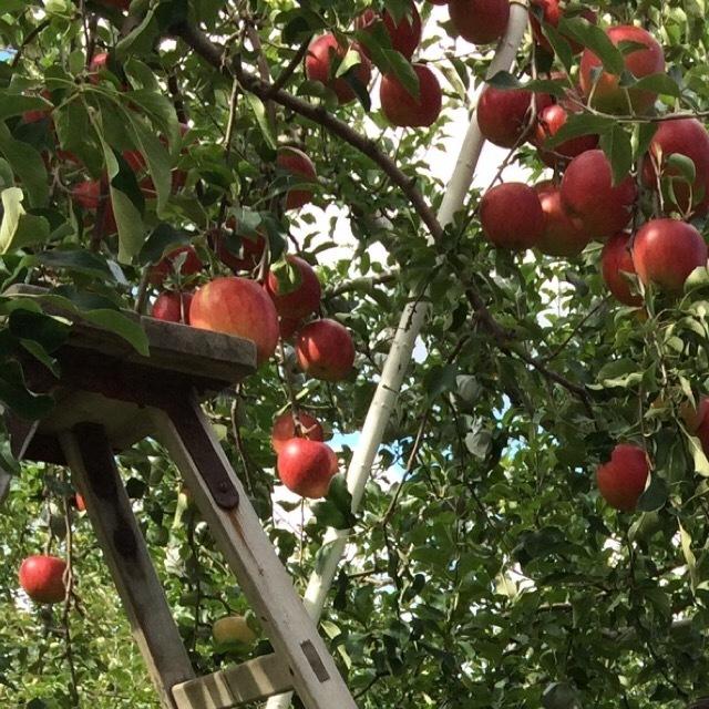 【青森観光りんご農園】 3玉300円で、りんご狩りができる。リンゴのもぎ方について