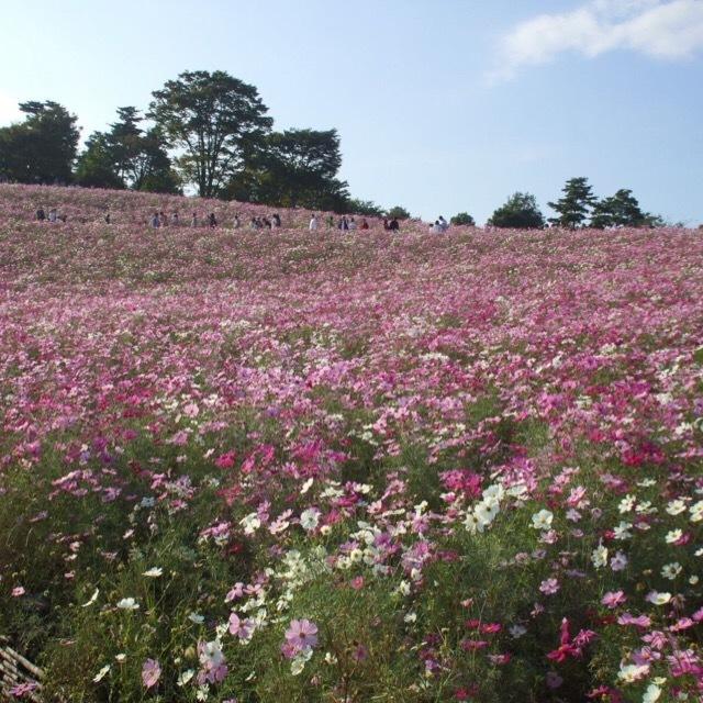 【昭和記念公園】 コスモス祭りに行ってきました