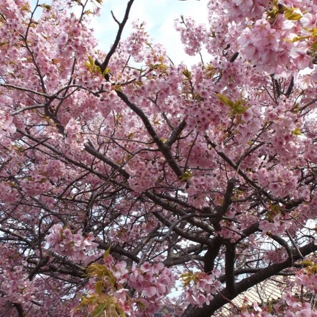 【河津桜まつり】 色が濃くて美しい~! 河津桜のトンネル、菜の花、足湯が楽しめます
