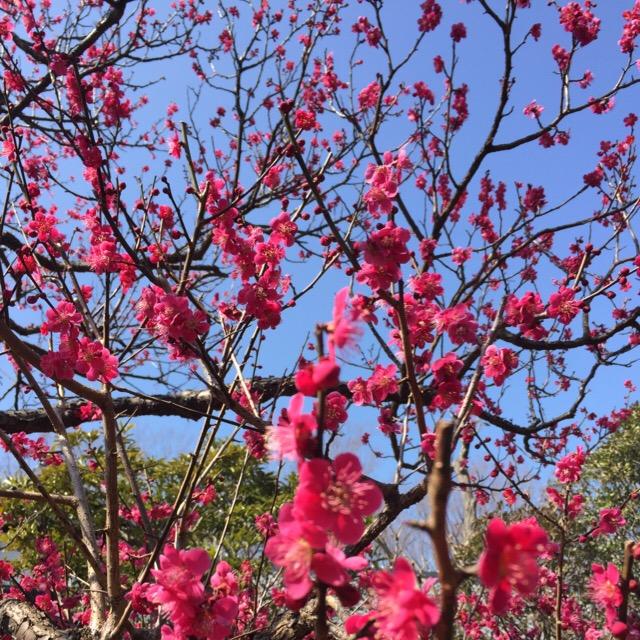 【府中市郷土の森 梅まつり】 約60種類、1,100本の梅の木が見られる