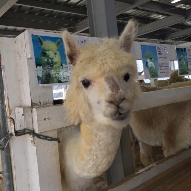 【四季彩の丘 アルパカ牧場】 アルパカの赤ちゃんを初めて見た! アルパカにエサをあげる時は、臭いつば吐きに注意!